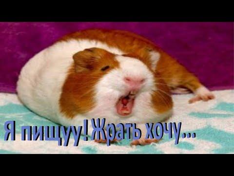 ХОМКИ. Почему пищит морская свинка? Какие звуки издают морские свинки?