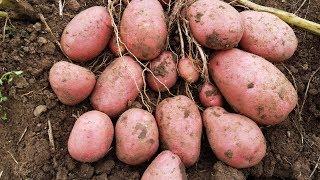 видео Наиболее устойчивые к колорадскому жуку сорта картофеля