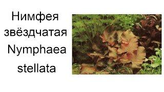 Звёздчатая нимфея (Nymphaea stellata)