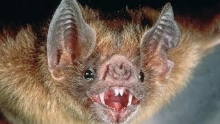Нападения летучих мышей в Харькове(В Харькове на людей стали нападать летучие мыши. Зоологи удивляются непонятной агрессии по отношению к..., 2013-10-09T08:29:57.000Z)