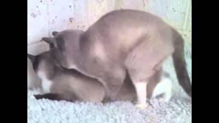 Кошки спариваются / Cats mate