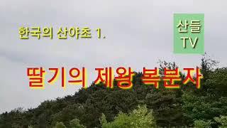 토종 딸기의 제왕 복분자의 효능, [한국의 산야초 1]…