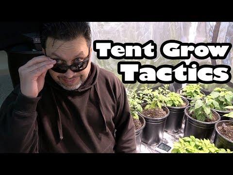 Tent Grow Pepper Show | OCGFAM445