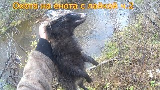 Охота на енота с лайкой в Кировской области