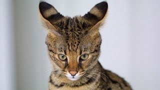Кошка Ашера  самая дорогая кошка в мире