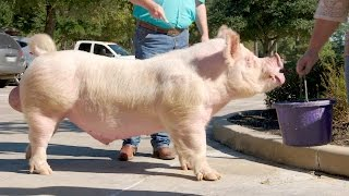 This Poor Ol' 700 Pound Pig Has Achy Joints | The Vet Life