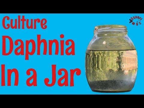 How To Culture Daphnia In A Jar