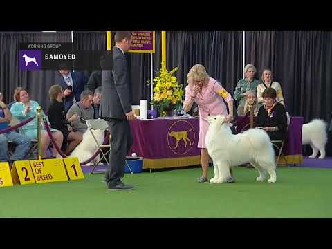 Samoyeds | Breed Judging 2019