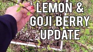 Lemon and Goji Berry Update
