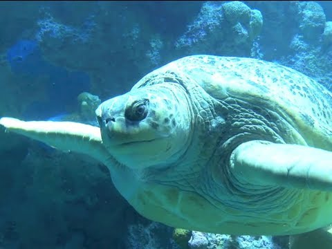green sea turtle youtube