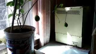 Выращивание лимонов в домашних условиях(, 2015-10-06T02:59:58.000Z)