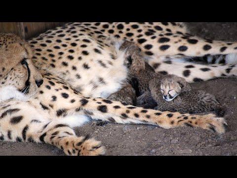 Cheetah Breeding Center - Behind The Scenes Tour