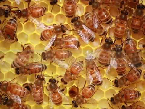 Honeybees Inside The Hive