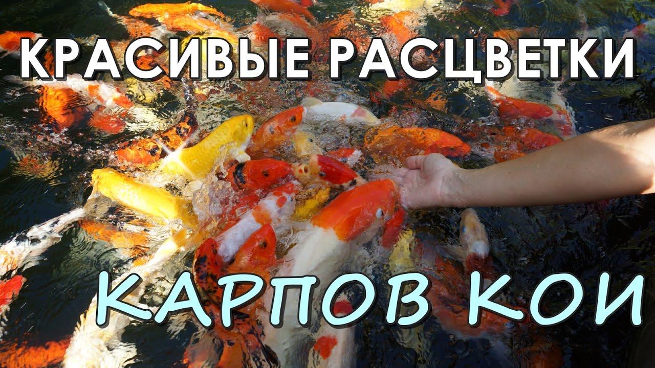 ☞ РЫБА ДЛЯ ПРУДА - Разновидности карпов кои - красивые расцветки рыб для пруда!
