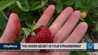 Debunking the social media strawberry bug myths