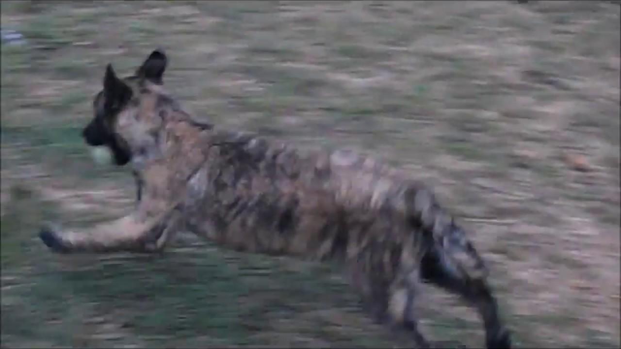 Dutch Shepherd Puppies for Sale | Aachen Dutch Shepherds