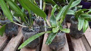 Como Plantar Orquídeas na Garrafa Pet com Pedra Brita