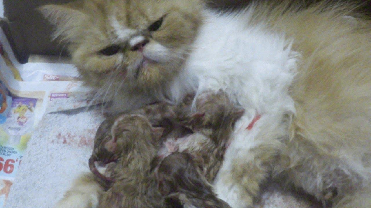 Персидская кошка – одна из самых известных и любимых во всём мире. О происхождении этой породы семейства кошачьих ходит немало теорий. История происхождения породы. Согласно одной теории, персидский кот появился в европе достаточно давно, более 400 лет назад. Есть сведения о том, что,