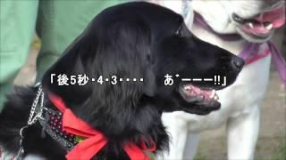 フラットコーテッドレトリバー あんじゅ 犬 レトリバーミート2014.