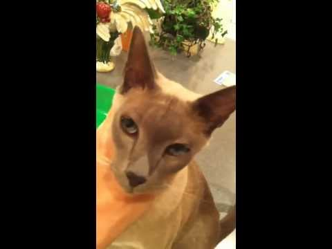 Binx - my attention-needing, Blue Mink Tonkinese cat
