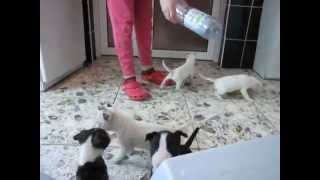 Bull Terrier Puppies - Four Horsemen Kennel