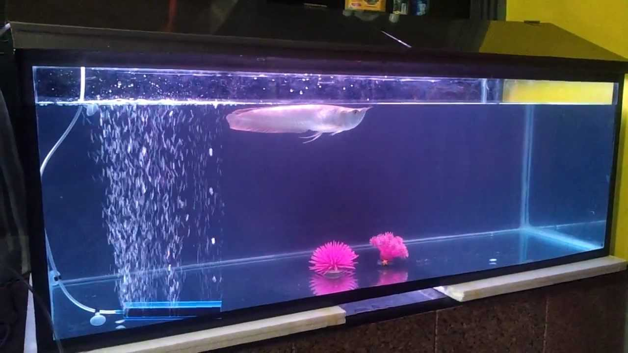 my arowana shifted to 4 ft fish tank update by aniket