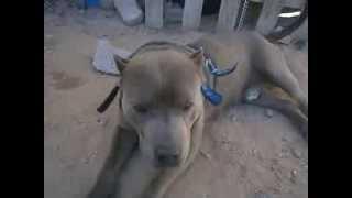 PIT BULL BLUE LINE EL GRAN GURY (AMERICAN DOG BREEDERS ASSOCIATION)(TIENE REGISTRO EN LA ASOCIACION AMERICANA DE CREADORES DE PERROS (AMERICAN DOG BREEDERS ASSOCIATION), 2014-01-18T21:17:34.000Z)