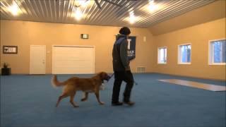 Charlie (golden Retriever) Boot Camp Dog Training Minneapolis