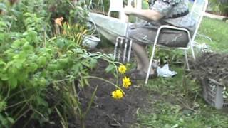 Nancy Today: Planting Daylilies