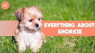 Yorkshire Terrier x Shih Tzu (Shorkie): Dog Breed Info And Facts That You Must Know