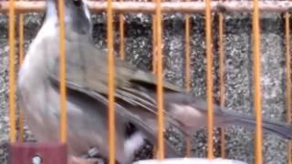 Fêmea de trinca sendo galada video de meia hora para esquentar seu trinca