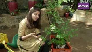 How To Plant Celery?