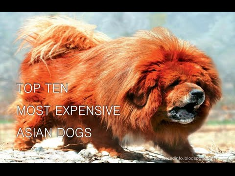 Top Ten Most Expensive Asian Dogs