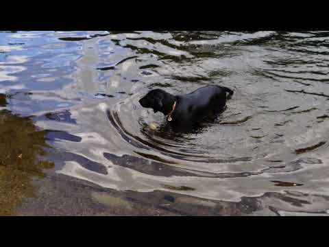 Big swim & fetch at Pillsbury dam
