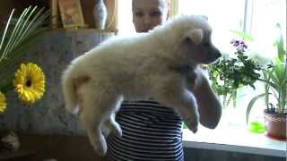 Белая Швейцарская Овчарка щеночки  СПб