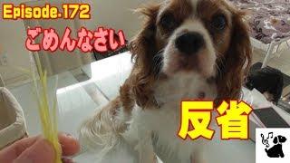 きちんと反省のできるキャバリア犬。 おもしろ可愛い犬・アンポンタン(...