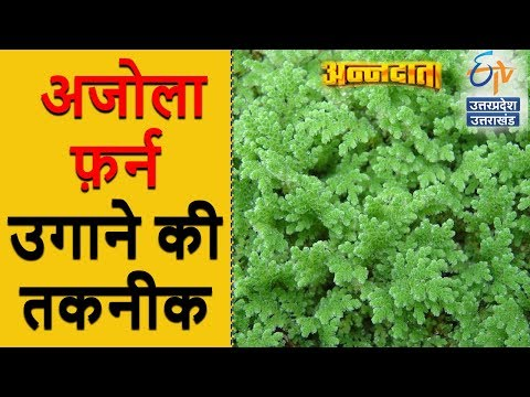 अजोला फ़र्न उगाने की तकनीक | Annadata | ETV UP Uttarakhand