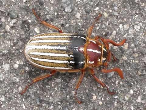 MVI 4402 beetle Willow glen san jose park lincoln