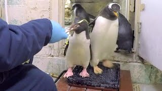 Adorable Penguins Eagerly Hop on Scales Two at a Time For Tasty Treats thumbnail