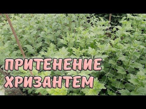 Притенение хризантем. Обзор теплицы с хризантемами