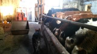 Byczki mięsne pilnowane przez owczarka