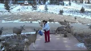 Deer Flock to Woman