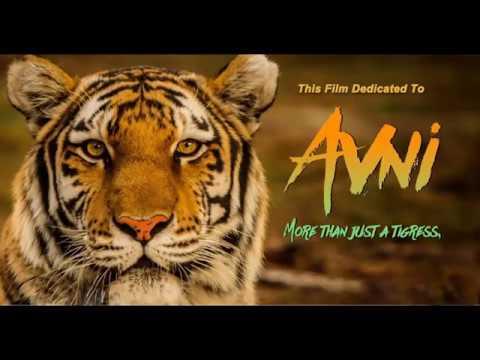 #LETAVANILIVE Tigress avani short film | tigress from Yavatmal jungle maharastra