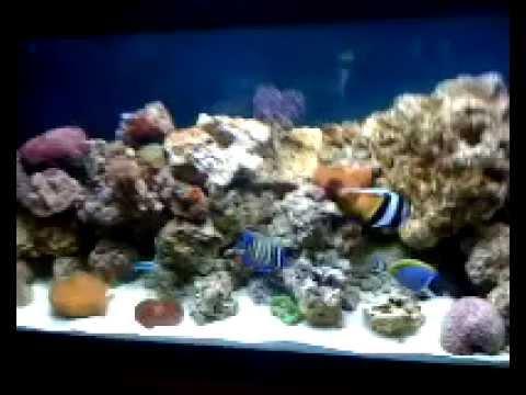 Acuario marino 200litros peces y corales youtube for Peces de acuario marino
