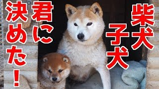 【柴犬子犬】この子を迎えることにしました! 太郎の犬モノガタリ#1 thumbnail