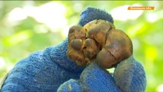 За 1 кг - 300 грн. Как фермер в Винницкой области выращивает трюфели