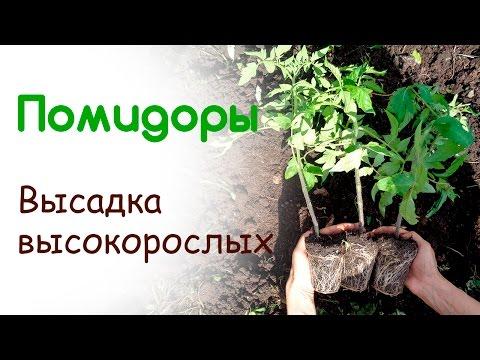Высадка высокорослых помидор