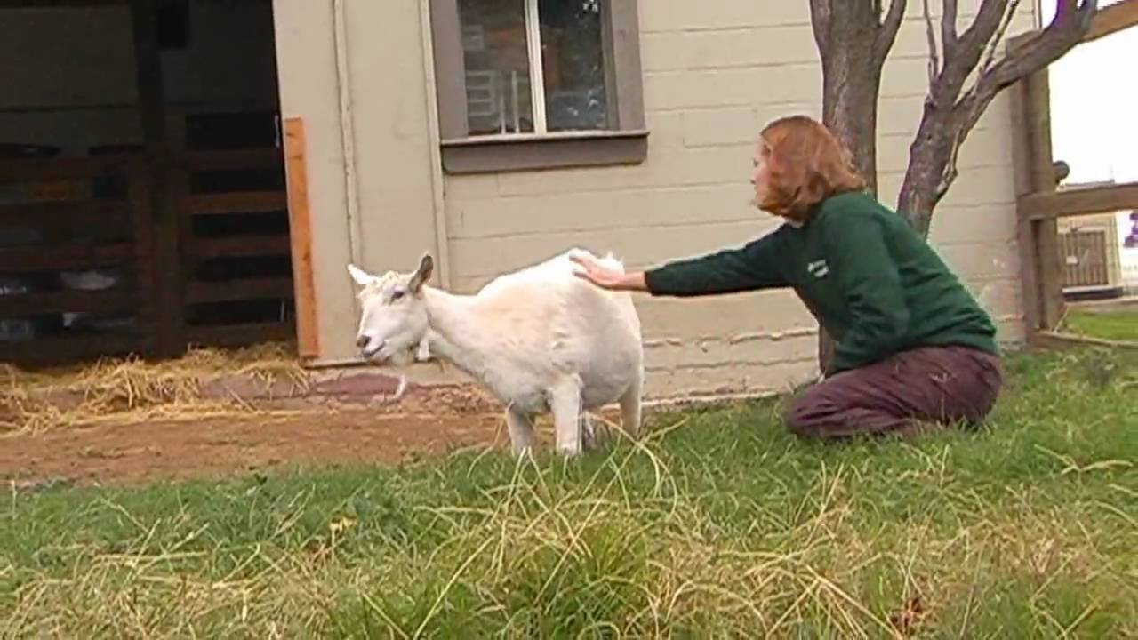 Coco's Story: A Goat's Journey to Health & Happiness