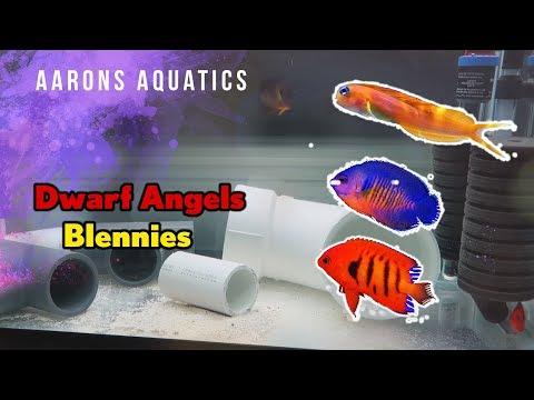 Dwarf Angels And Blennies! (Quarantine Update!)