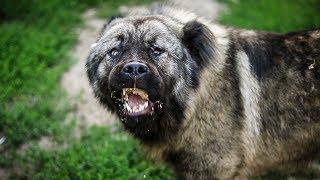 Кавказская овчарка | Охранная собака